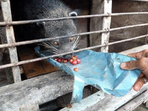 야행성 잡식동물인 사향고양이는 철장 안에 갇혀 강제로 커피 콩만 먹는 결과 영양실조, 카페인 중독 등 육체적, 신체적 질병에 시달린다. 월드 애니멀 프로텍션(World Animal Protection)